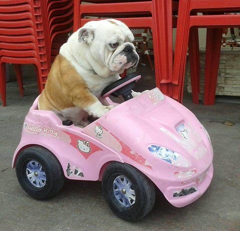 bulldog riding car