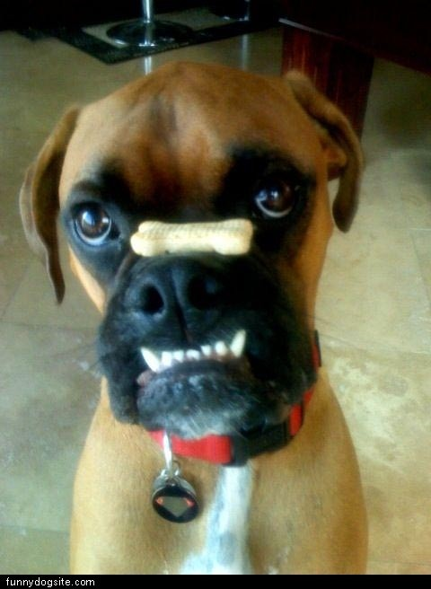 boxer dog jaw