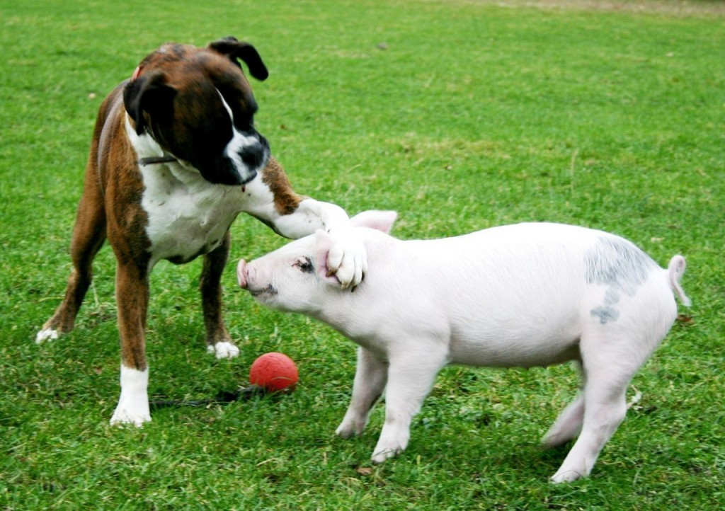 Dog Breeds That Get Along With Boxers