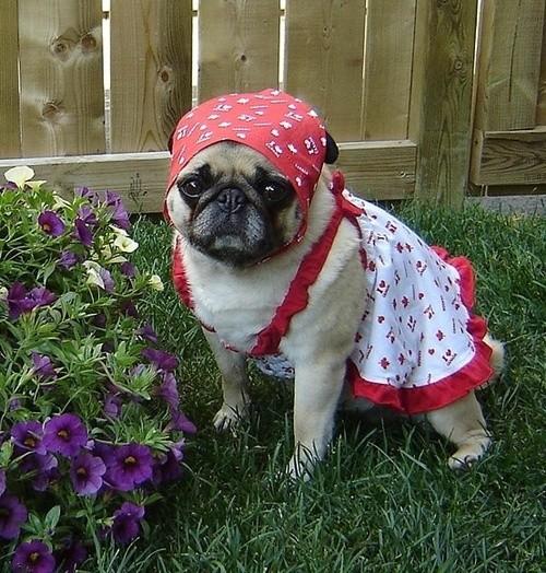 Gardener Pug