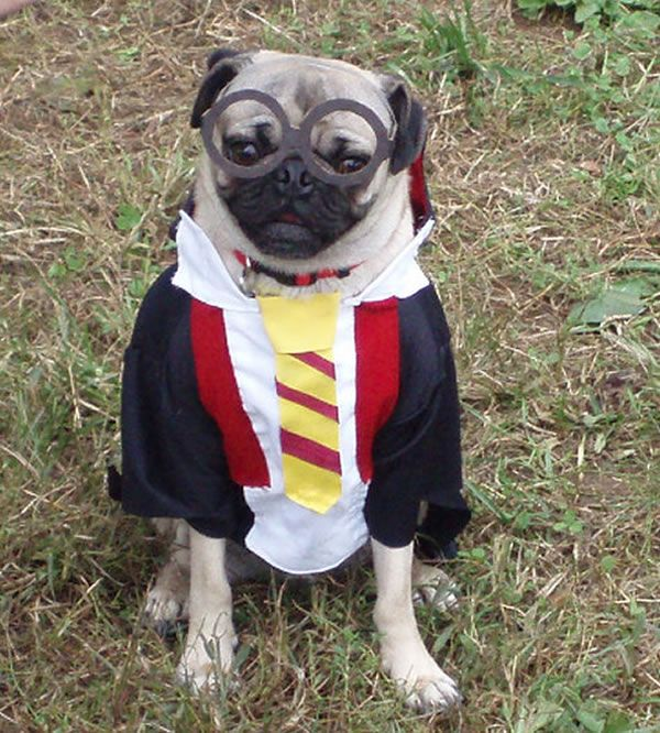 Harry Potter Pug
