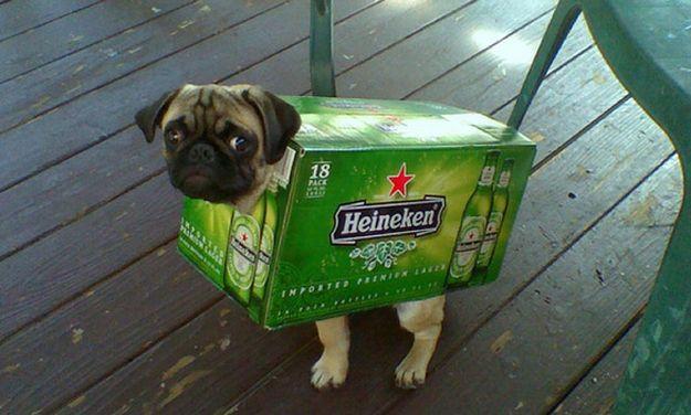 Heineken Pug