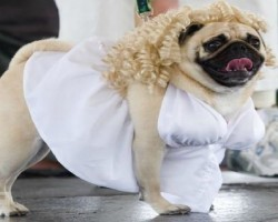 30 Costumes That Prove Halloween Was MADE For Pugs