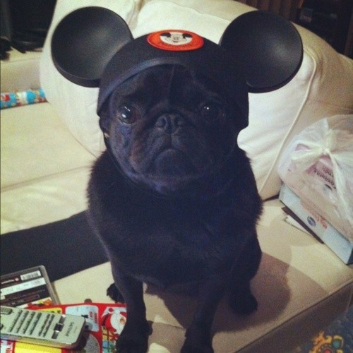Mickey Pug!