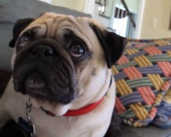 Adorable Pug Gets Scolded by Owner and Takes It Hard!!