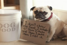 [HILARIOUS] These 17 ILL-Behaved Pugs Just Got Shamed By Their Owners