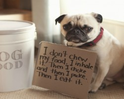 Pug Shaming Is The Best Kind Of Dog Shaming. Here Are 20 Photos To Prove That.