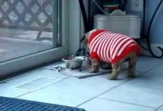 Bulldog Puppy Throws Temper Tantrum Over New Sweater! It's The Cutest Thing EVER!!