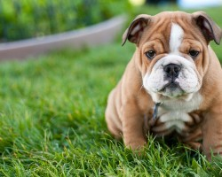 Top 10 Reasons Why Owning An English Bulldog Is The COOLEST Thing Ever