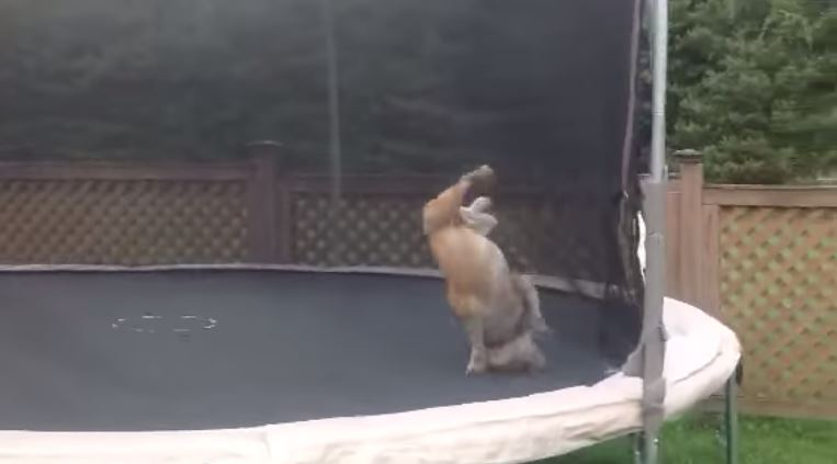 english-bulldog-boucing-on-trampoline