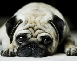 15 Things You (Probably) Didn't Know About Pugs
