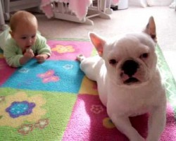 Adorable French Bulldog Teaches Beautiful Little Baby To Crawl