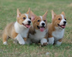 15 Signs You're A Crazy Corgi Person… and Damn Proud To Be!