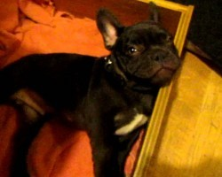 This French Bulldog Puppy's Reaction To Bedtime Is So Cute! He's Just Like A Baby!