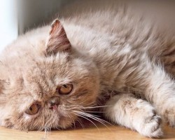 This Sad Cat Diary Will Make You Cry… From Laughter!!