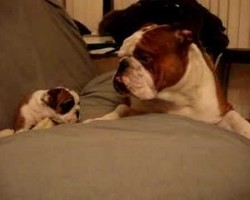 Tough English Bulldog Daddy Meets Even Tougher Daughter For The First Time! This Video Is Absolutely Hilarious!