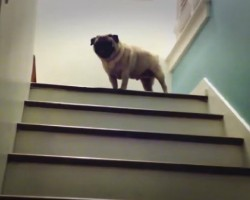 This Adorable Pug Has Conquered The Mountain! Signature Pug Sneeze At The Top Too!