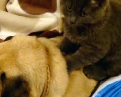 Pug Happily Snores As A Cat Gives Him A Back Massage
