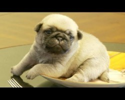 Pug Puppy On A Pug Plate?! OMG! Cuteness Explosion!
