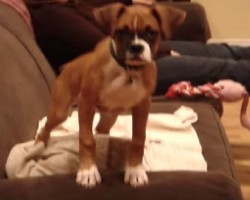 OMG Bella The Boxer Is So Insanely Cute!!!!!!! Got To Love The Boxer Wiggle!!!!!!