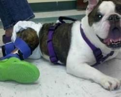 Paralyzed Bulldog Receives Custom Leg Braces & Crocs!