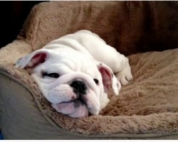 English Bulldog Puppy Makes Her Own Fun! Cuteness Overload!!!!