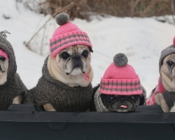 Puggy Snow Sledding Party!
