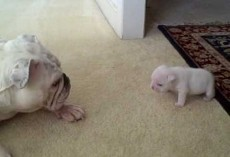 This Mama Gave Her Puppy A Pat On His Head. His Response? Cutest Bulldog Tantrum Ever!