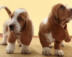 15 Signs That Indicate You're A Crazy Basset Hound Person… And Are Damn Proud of It!