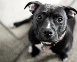 14 Signs You're A Crazy Pit Bull Person… and Damn Proud To Be!