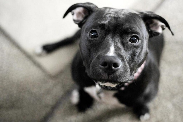 black-pit-bull-pictures