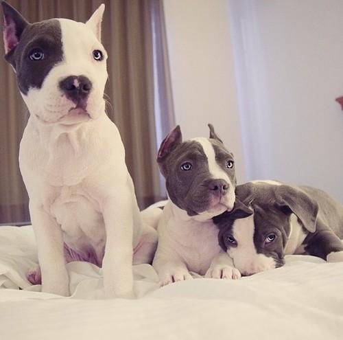 pit-bulls-puppies-photo-beauty.jpg