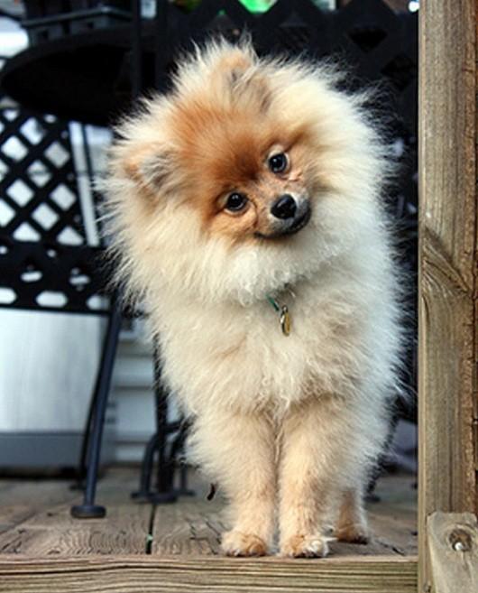 pomeranian-dog-hello