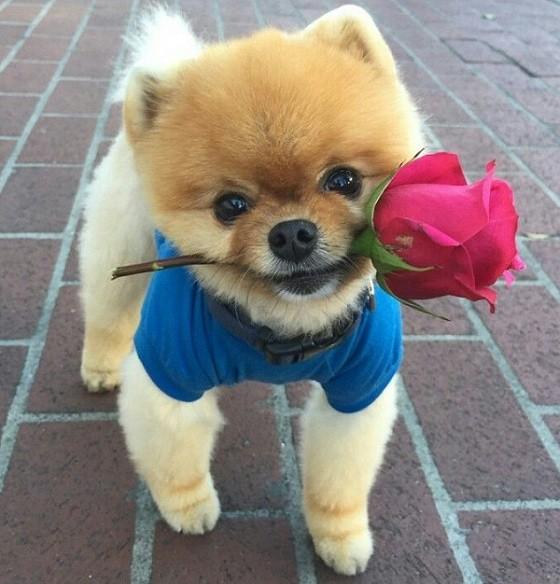 pomeranian-dog-rose