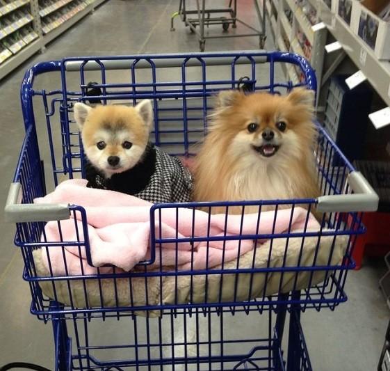 pomeranian dogs shopping