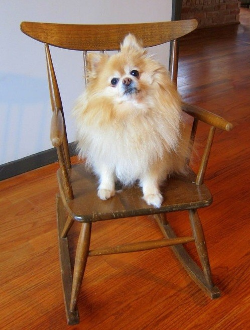 pomeranian-on-chair