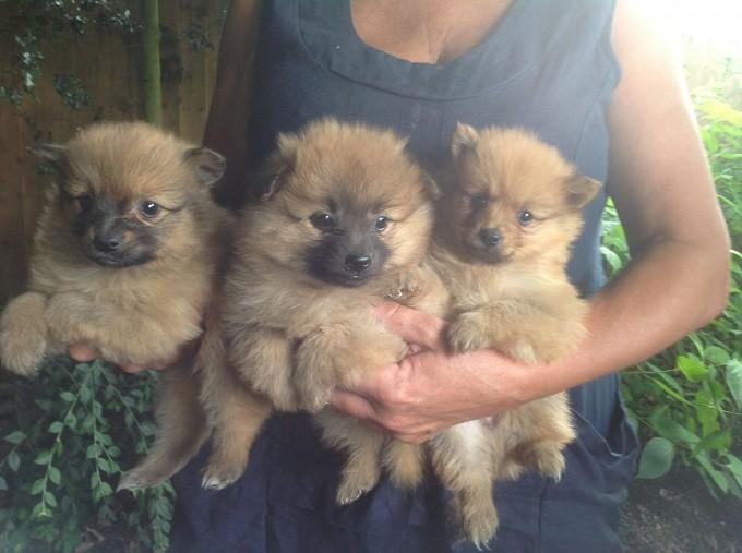 pomeranian-puppies