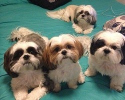 14 Signs You're A Crazy Shih Tzu Person… and Damn Proud To Be!