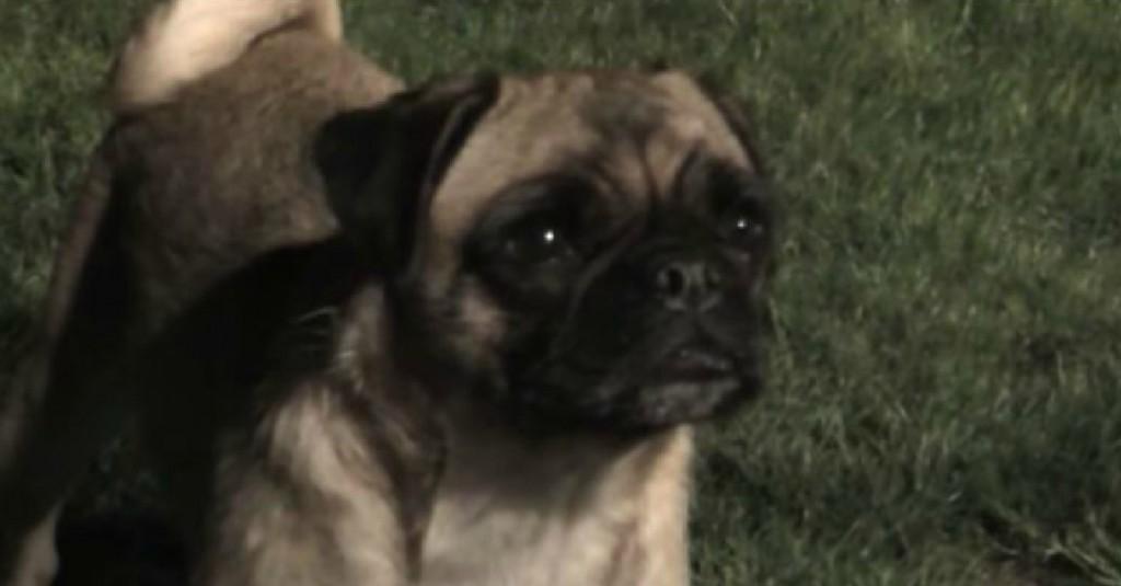 Loca-The-Irish-Pug