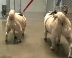 Obese Pugs Abandoned By Owner, Find A New Healthy Home