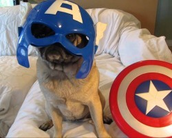 Earth's Mightiest (and Most Adorable) Heroes… Avenger Pugs!