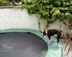 Boston Terrier Bouncing On A Trampoline Is The Funniest Thing Ever!