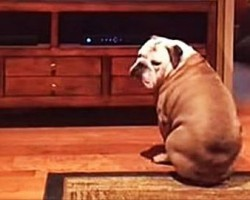 This English Bulldog LOVES The 2015 Super Bowl Budweiser Commercial