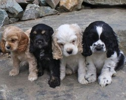 12 Realities New Cocker Spaniel Owners Must Accept