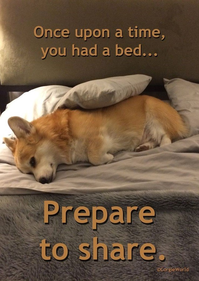 corgi on bed cute pics