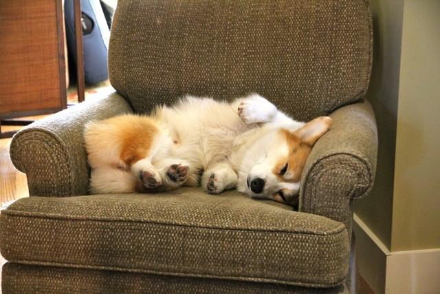 corgi sleep on couch