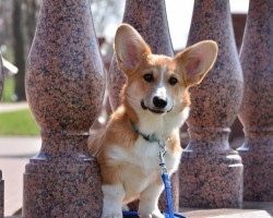 12 Realities New Corgi Owners Must Accept