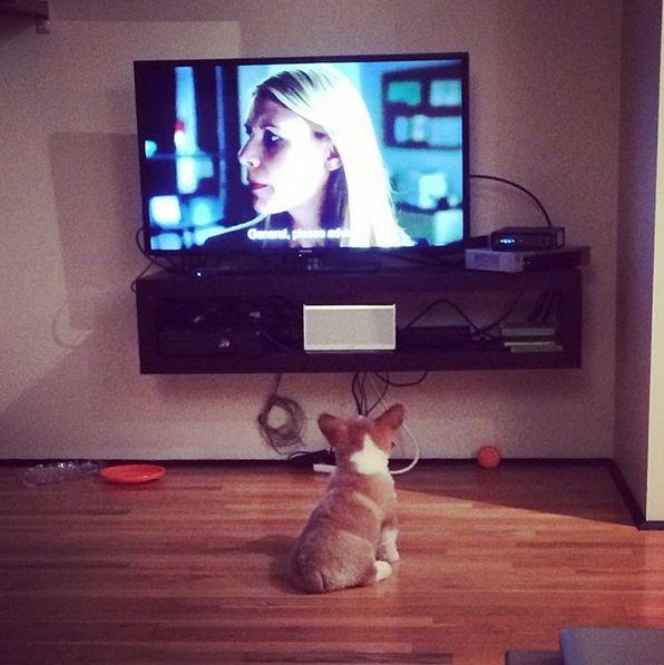 corgi watching TV fun