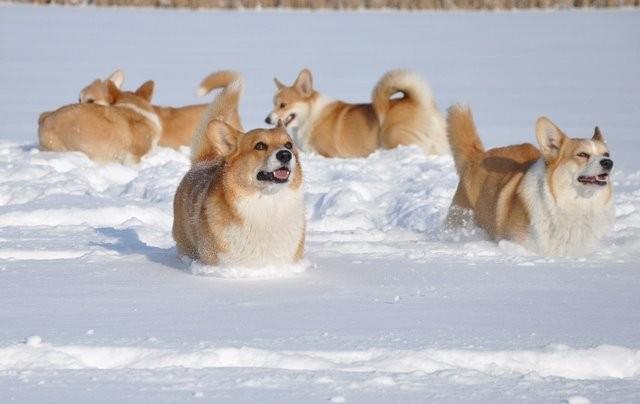 corgis snow ice pics