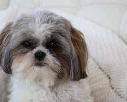 12 Realities New Shih Tzu Owners Must Accept